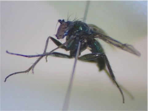 Chrysotus blepharosceles(m)