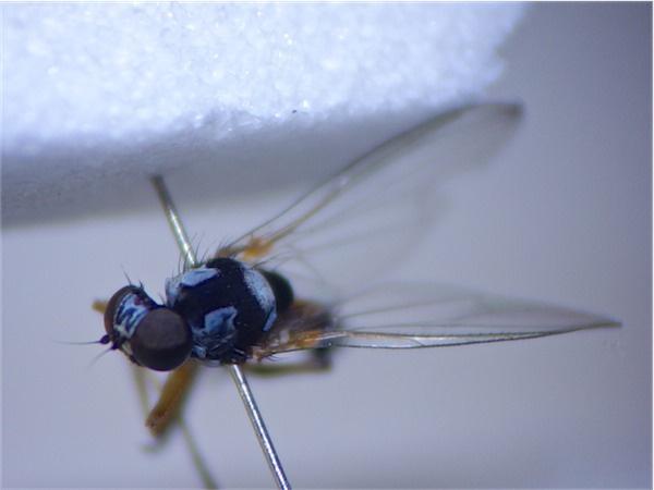 Callomyia amoena
