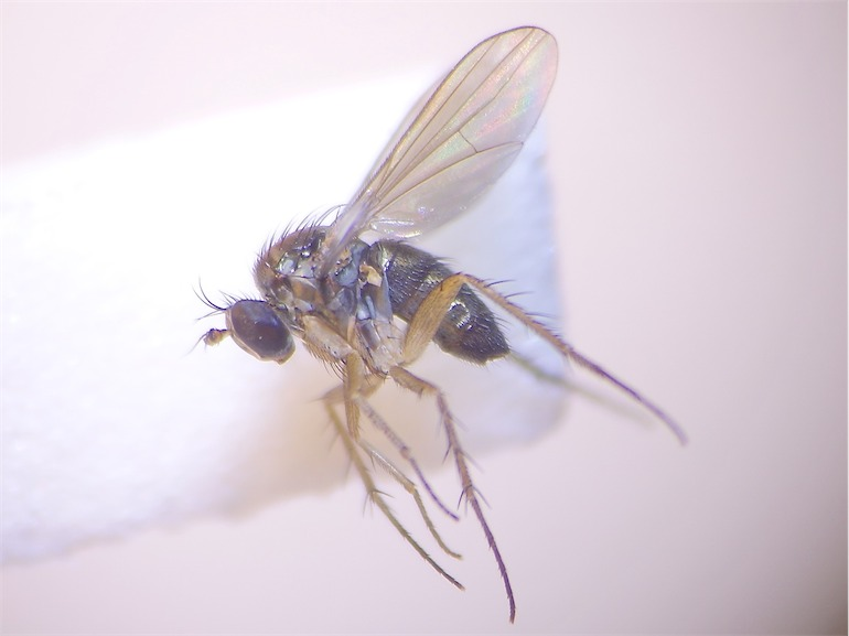 Hercostomus nigripennis