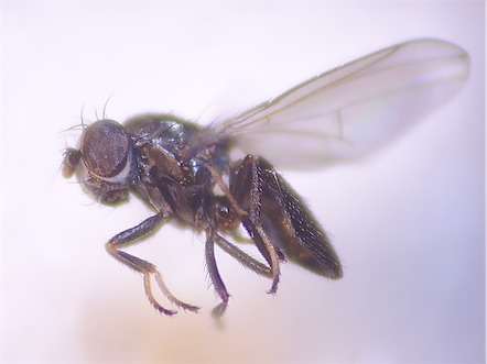 Ditrichophora calceata