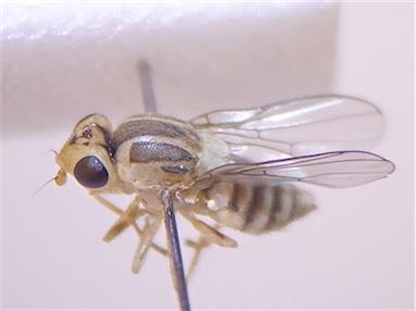 Chlorops spec.