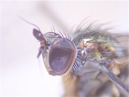 Dolichopus trivialis