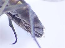 Setacera aurata(f)