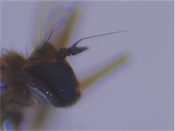 Campsicnemus armatus(m)