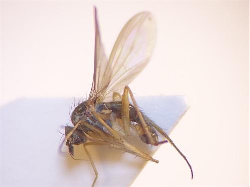 Sybistroma obscurellus