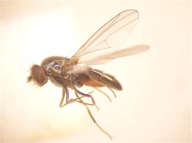 Ditrichophora palliditarsis