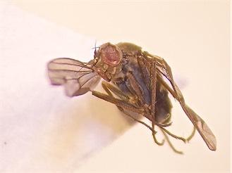 Thinophilus versutus