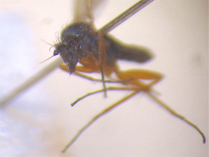 Achalcus cinereus