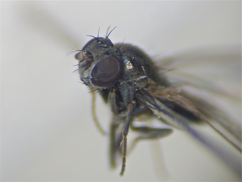 Gymnoclasiopa plumosa