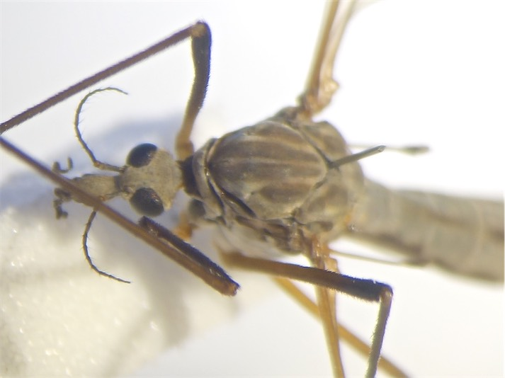 Tipula luna(f)