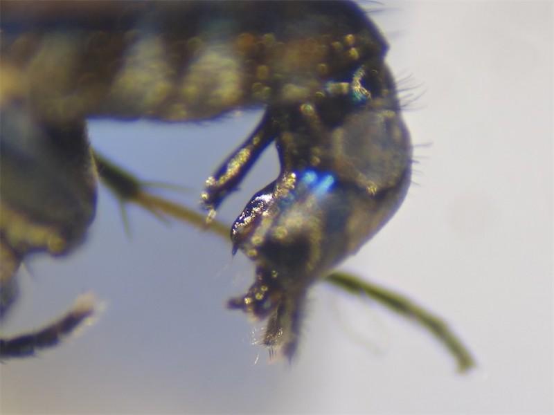 Tachytrechus notatus