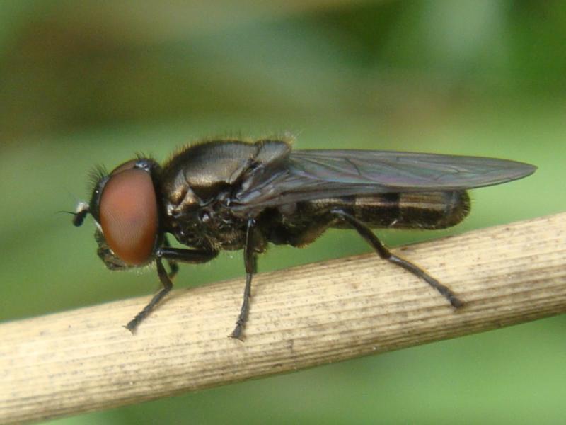 Melanogaster hirtella Weidedoflijfje(m)