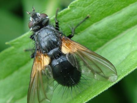 Zophomyia temula(f)