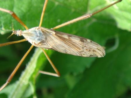 Eutonia barbipes