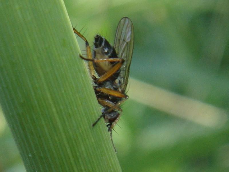 Cleigastra apicalis