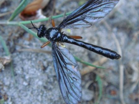 Dioctria oelandica Zwartvleugel Bladrover