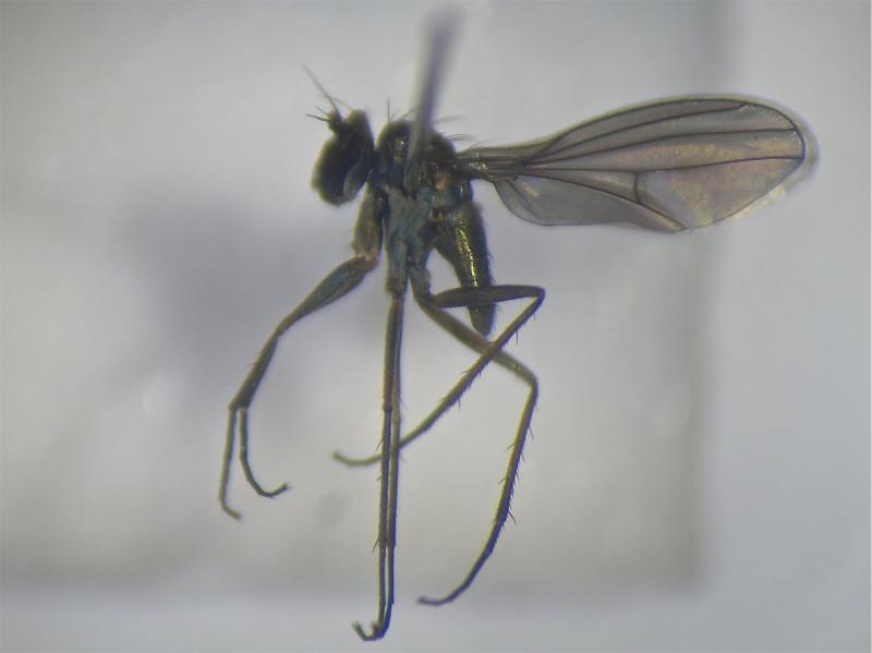 Campsicnemus lumbatus(f)