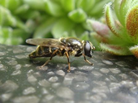 Cheilosia caerulescens Tuingitje