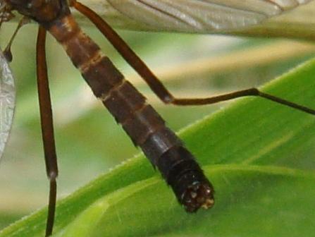 Nigrotipula nigra(m)