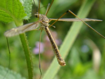 Tipula pierrei(m)