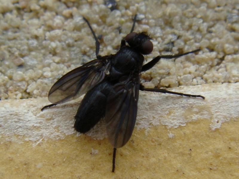 Melanophora roralis Soort Pissebedvlieg