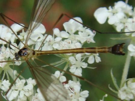 Diogma glabrata