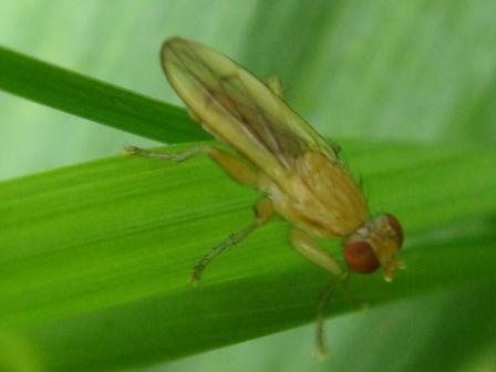 Pherbellia albocosta