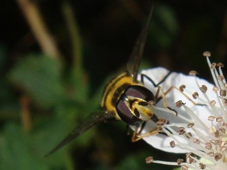 Didea fasciata Bosdidea(f)