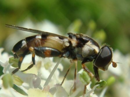 Syritta pipiens Menuetzweefvlieg(f)