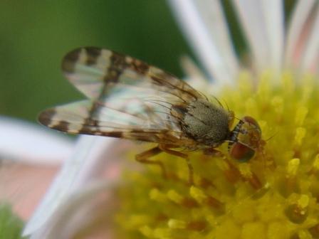 Sphenella marginata Gebandeerde Kruiskruidboorvlieg