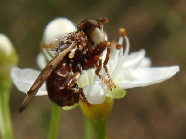 Myopa tesselatipennis
