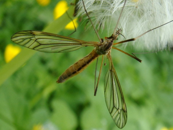 Tipula vernalis(f)