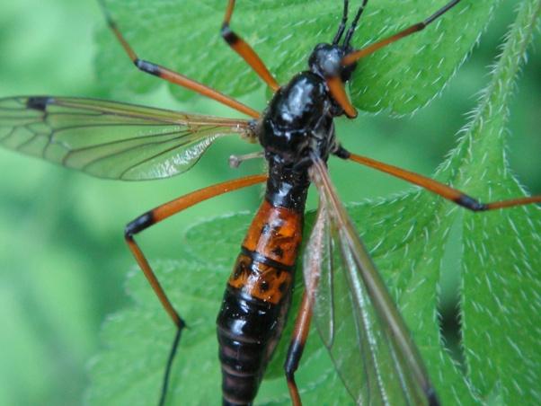 Tanyptera nigricornis(f)