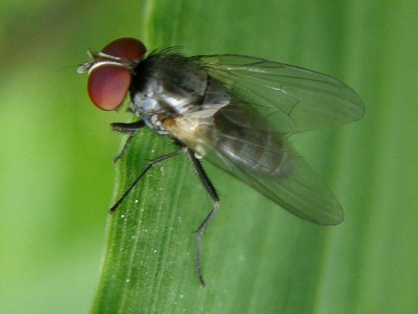 Fannia similis