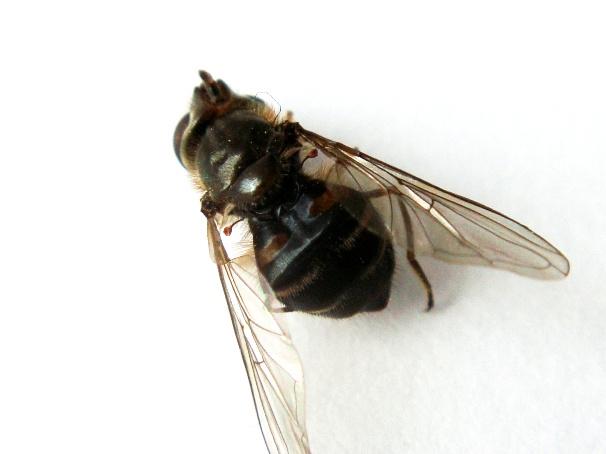 Dasysyrphus pinastri Zwartwimperzweefvlieg(f)