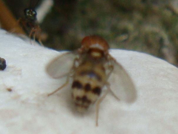 Leucophenga maculata