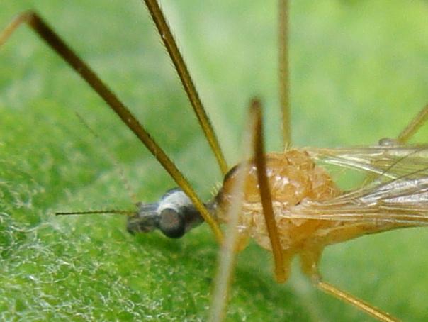 Phylidorea fulvonervosa