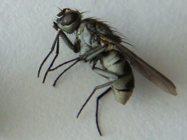 Limnophora tigrina(f)