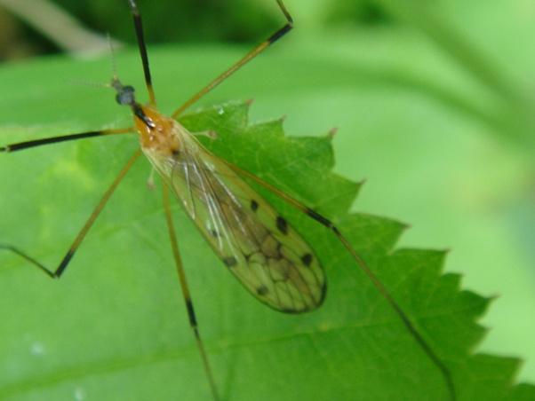 Limonia nigropunctata