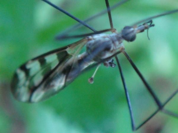 Tipula trifascingulata(f)