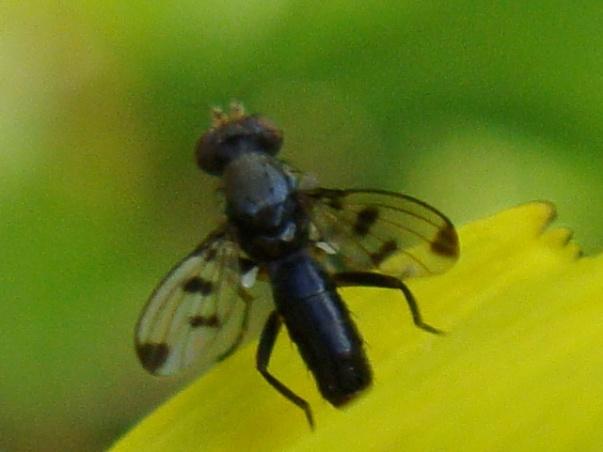 Geomyza tripunctata