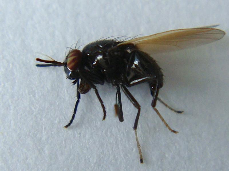 Lauxania cylindricornis