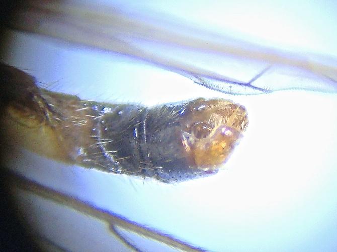 Phylidorea ferruginea