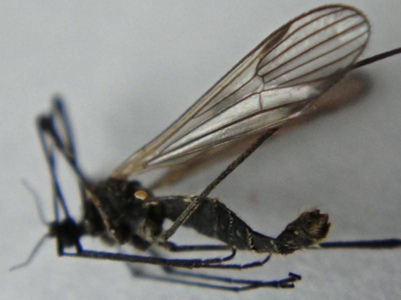 Arctonopa melampodia