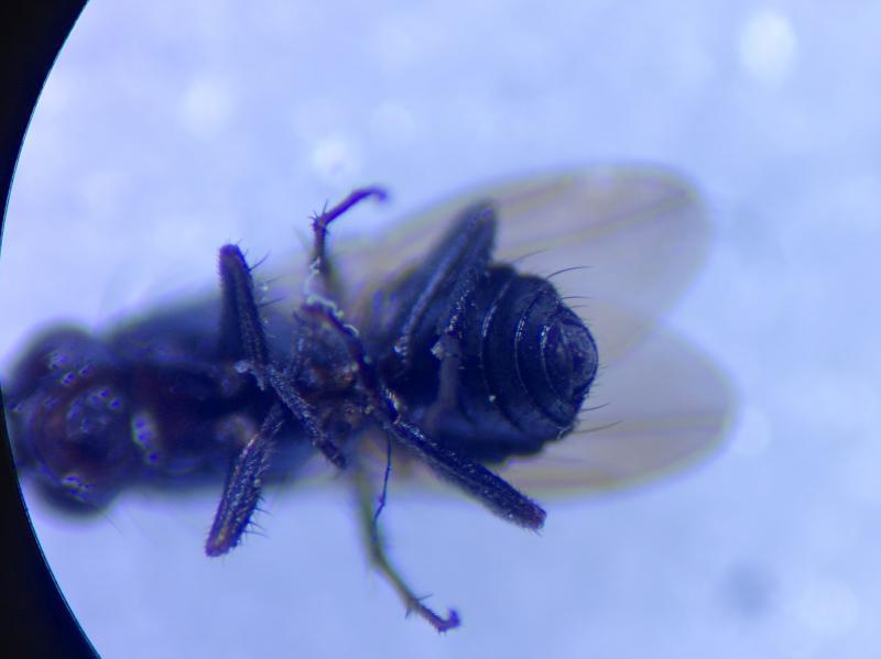 Rachispoda limosa