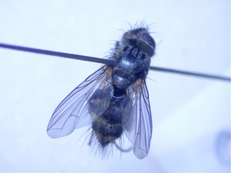 Oswaldia muscaria