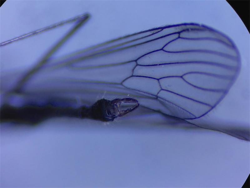 Trichocera saltator(m)