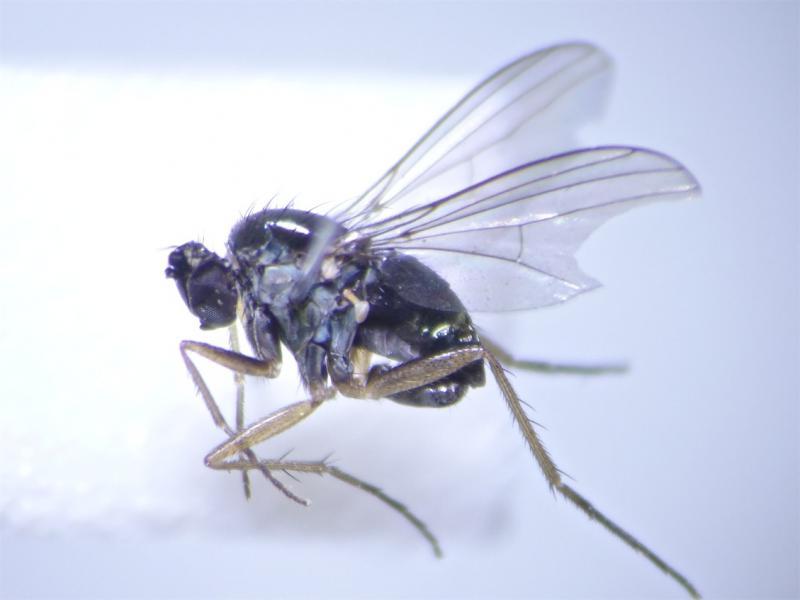 Gymnopternus aerosus