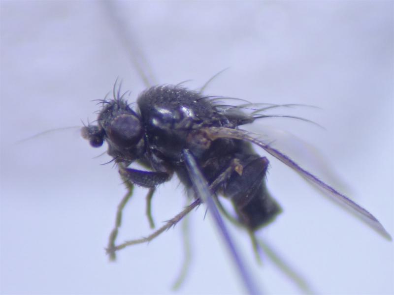 Leptocera nigra