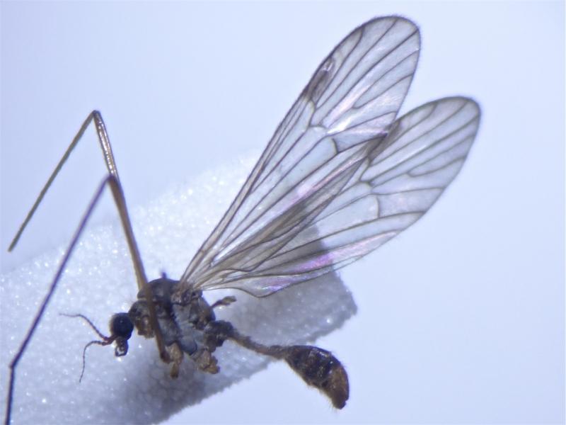 Rhypholophus bifurcatus